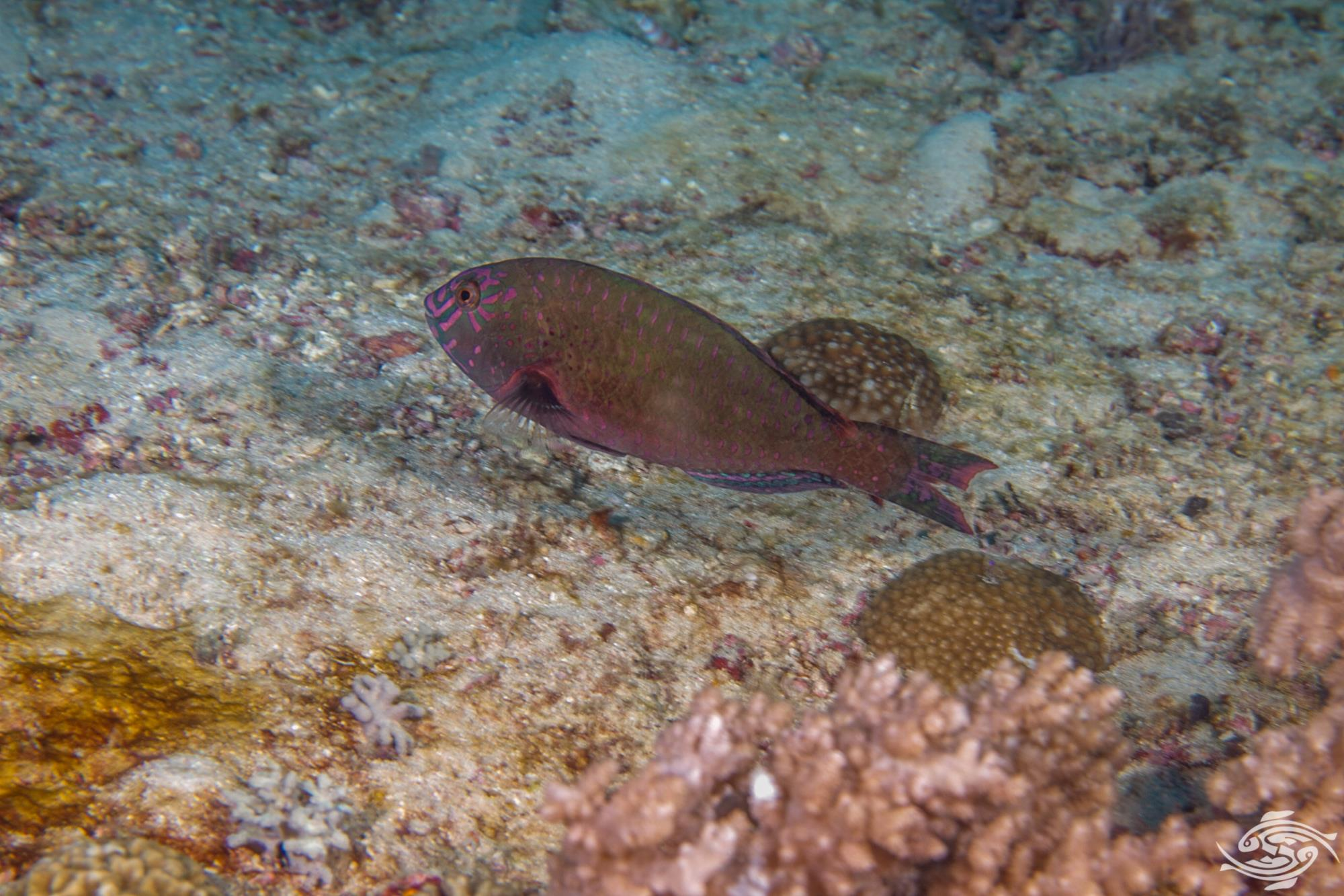 Stareye Parrotfish, Calotomus carolinus male