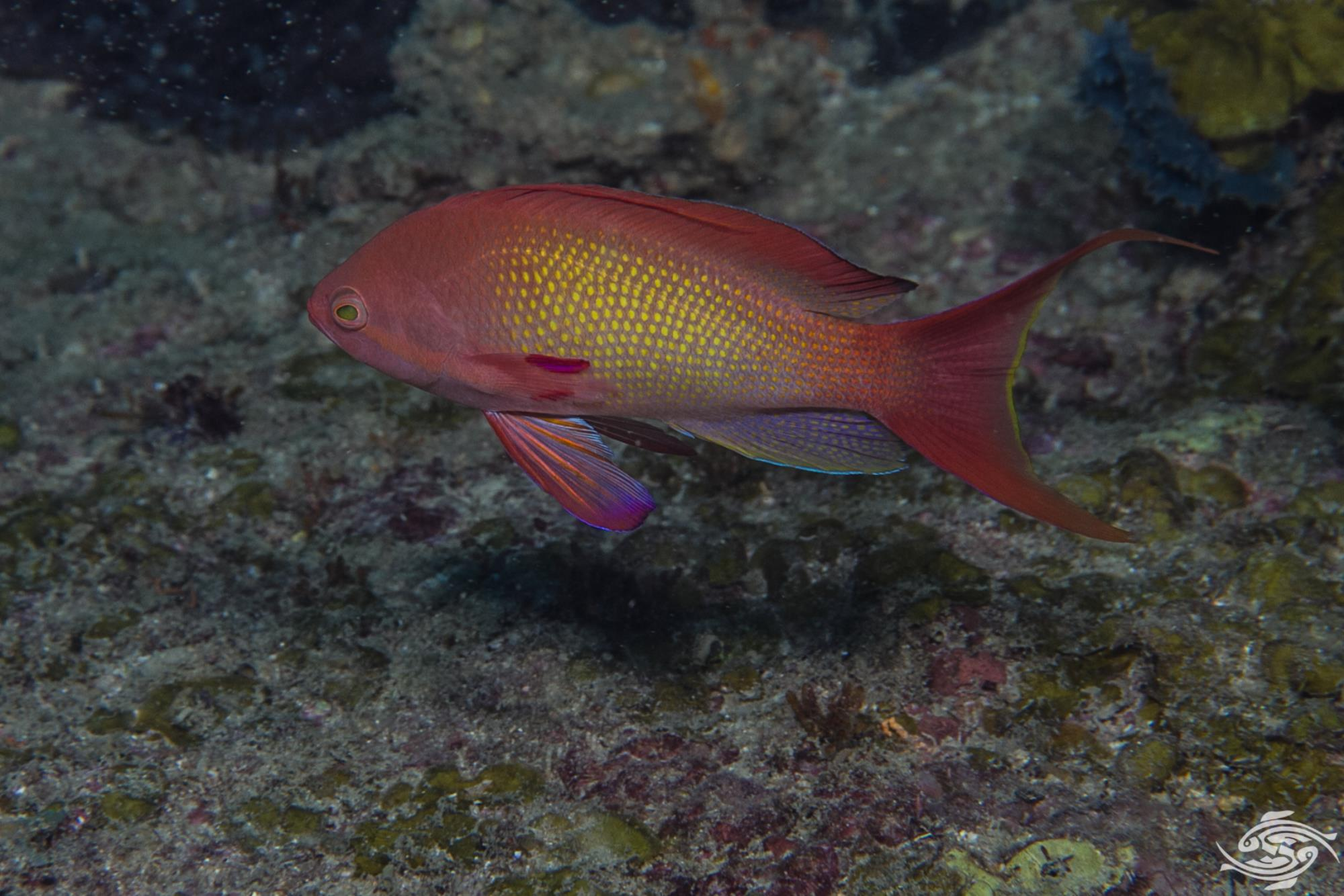 Sea Goldies (Pseudanthias squamipinnis)