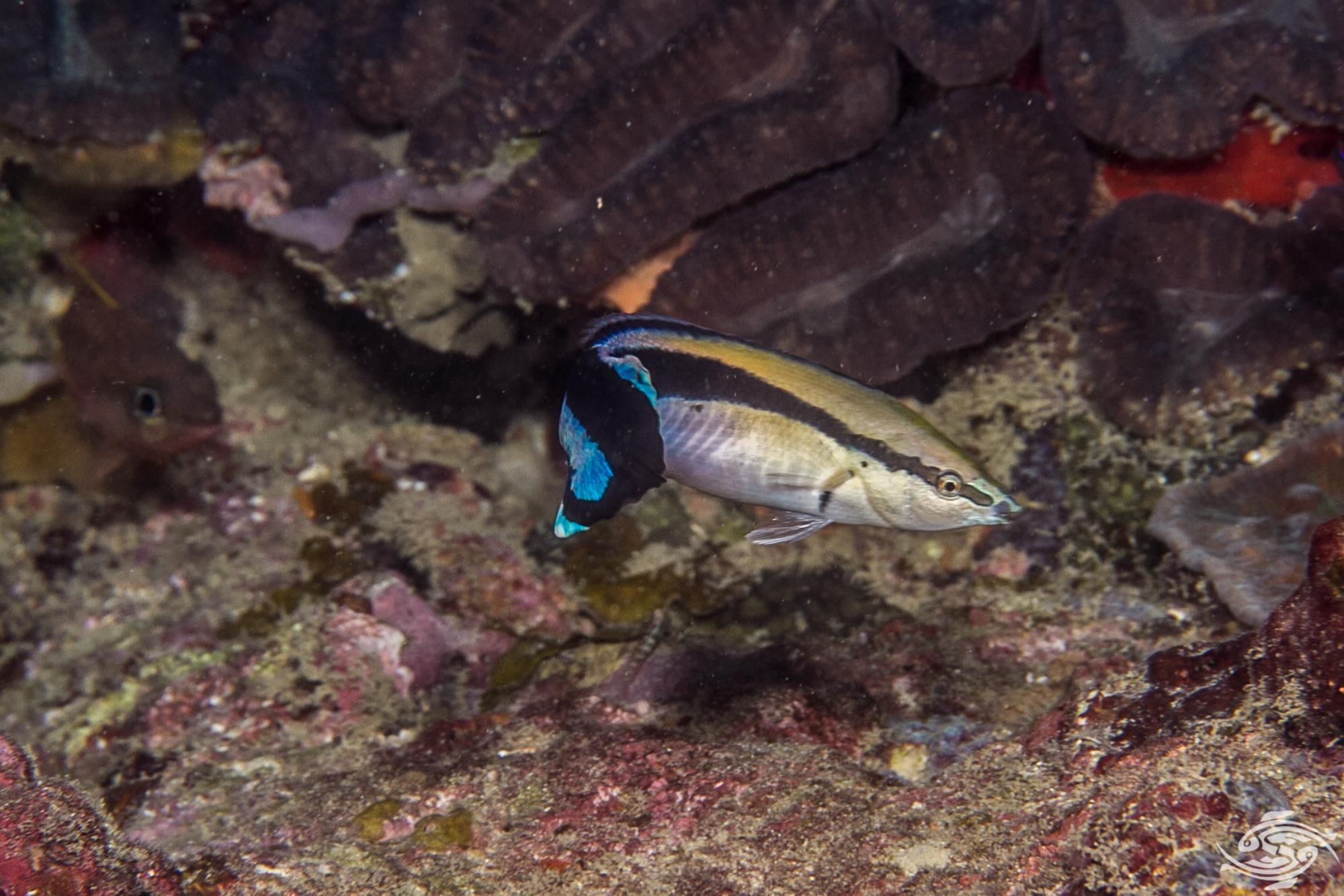 Blue Streak Cleaner Wrasse (Labroides dimidiatus)