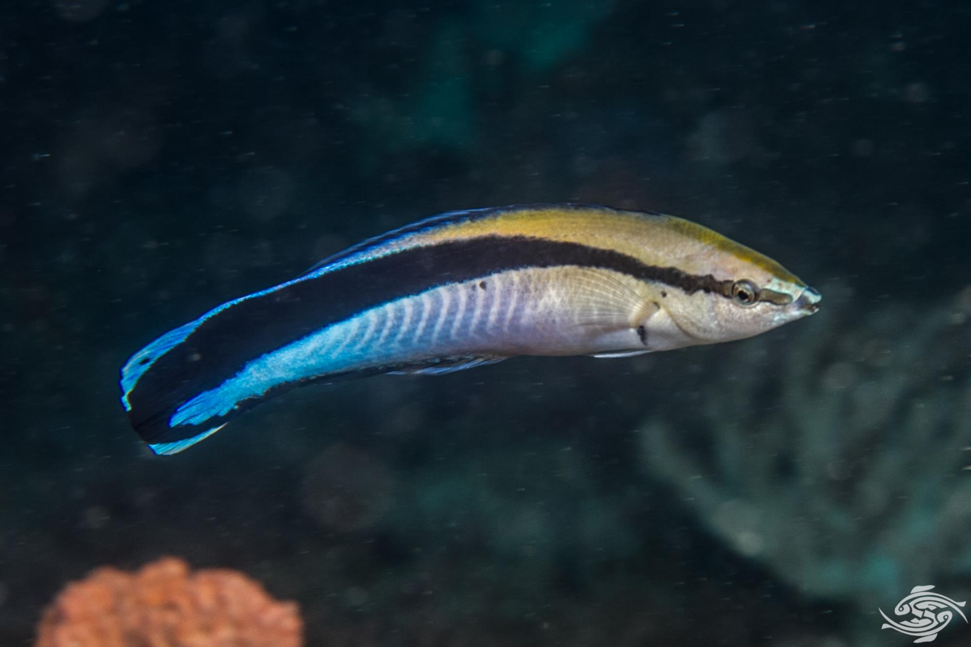 Cleaner Wrasse (Labroides dimidiatus) also known as the Blue Streak Cleaner Wrasse