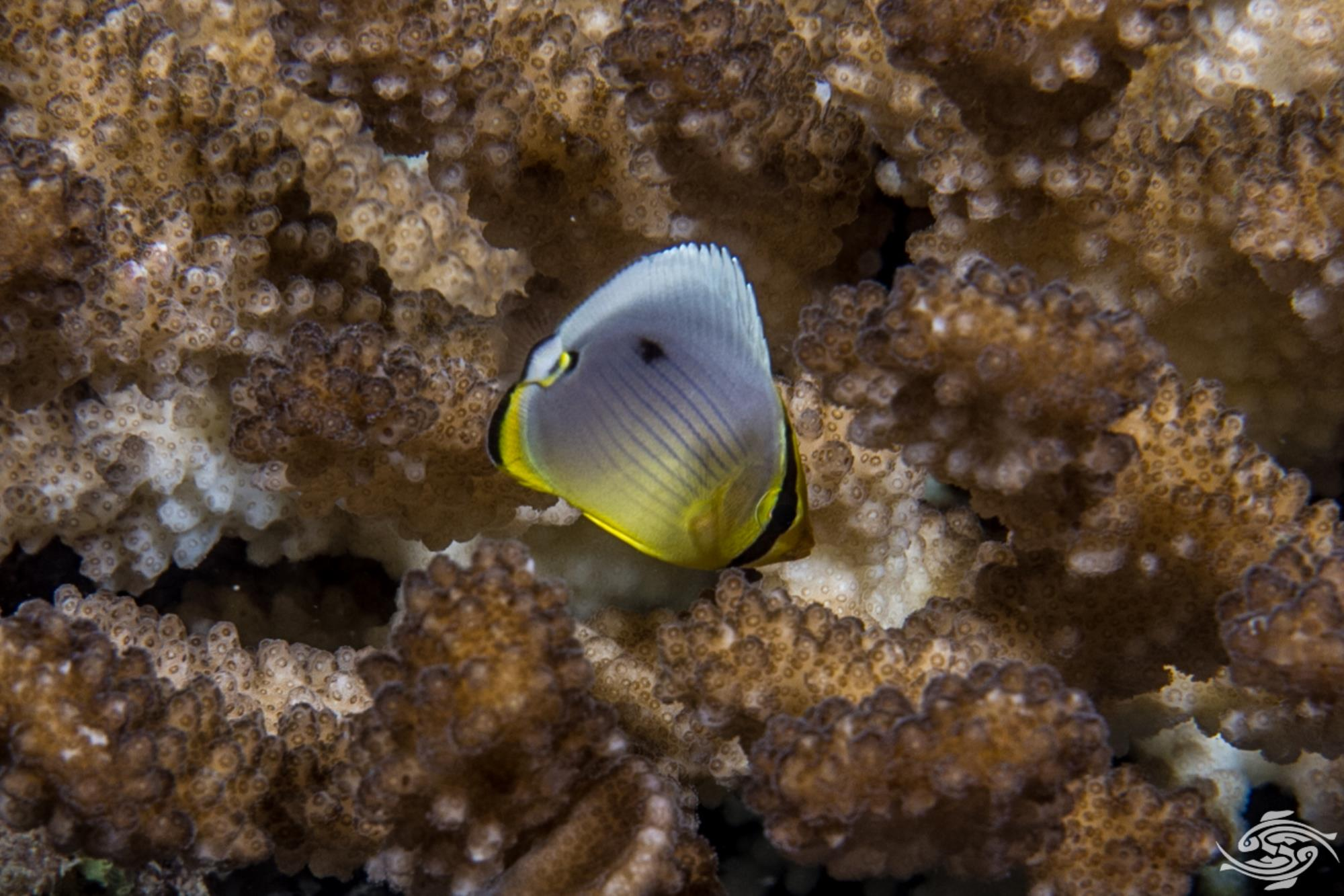 Juvenile Melon Butterflyfish (Chaetodon Trifaciatus)