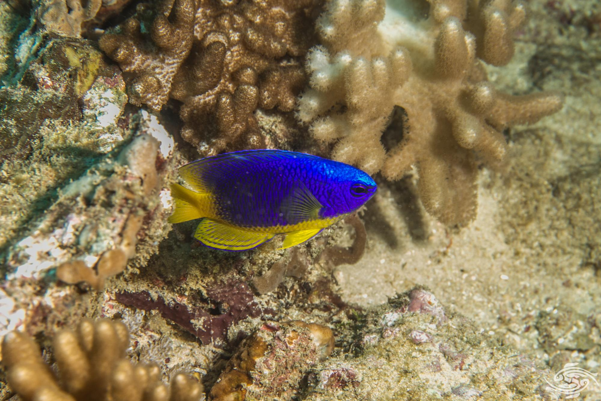 Caerulean damsel fish (Pomacentrus caeruleus) is also known as the Regal damselfish, the Yellow Belly damselfish and Golden Belly Damselfish