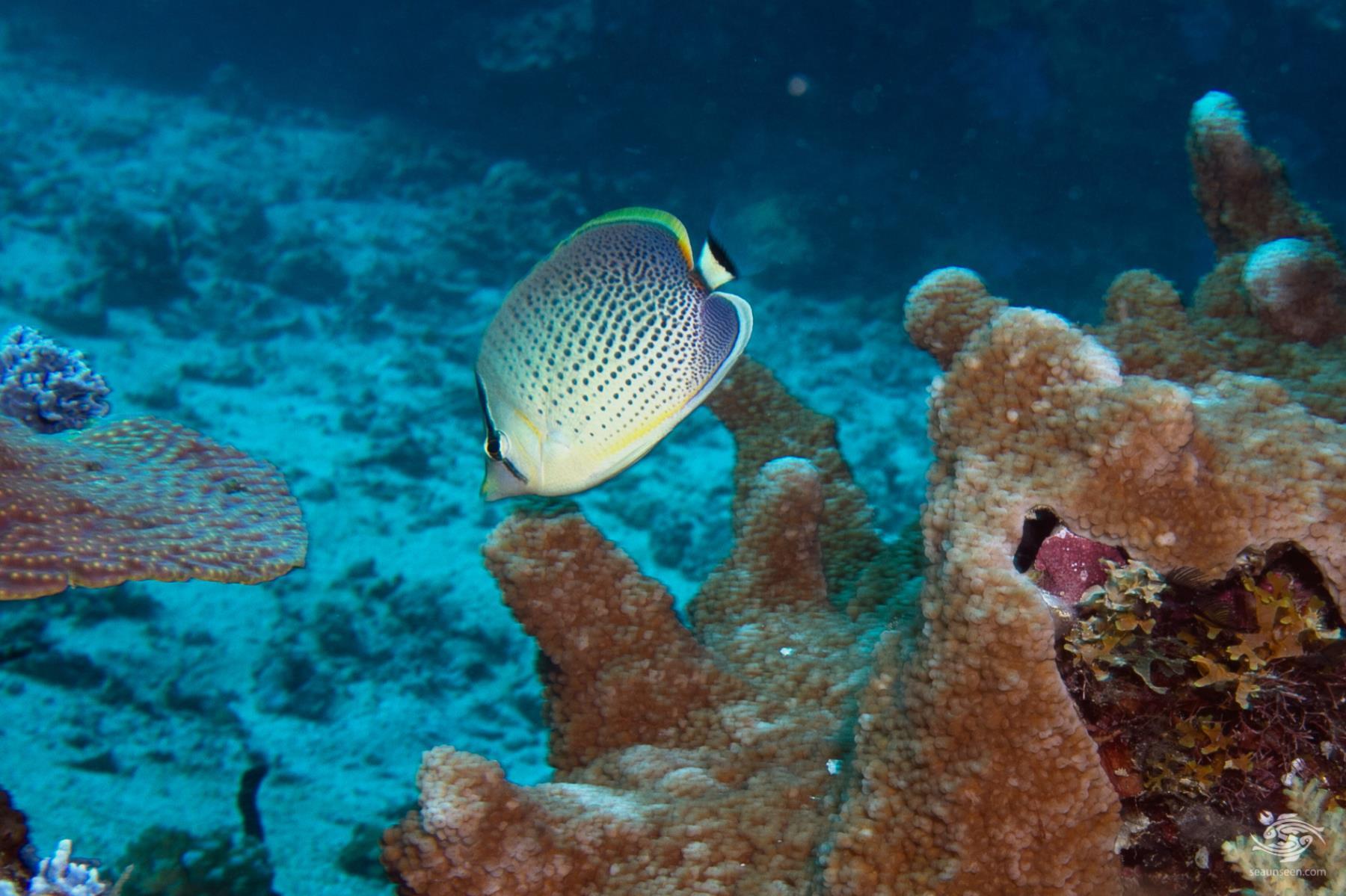 peppered butterflyfish, Chaetodon guttatissimus
