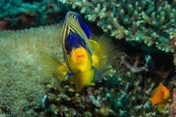 Regal Angelfish or Royal Angelfish Pygoplites diacanthus