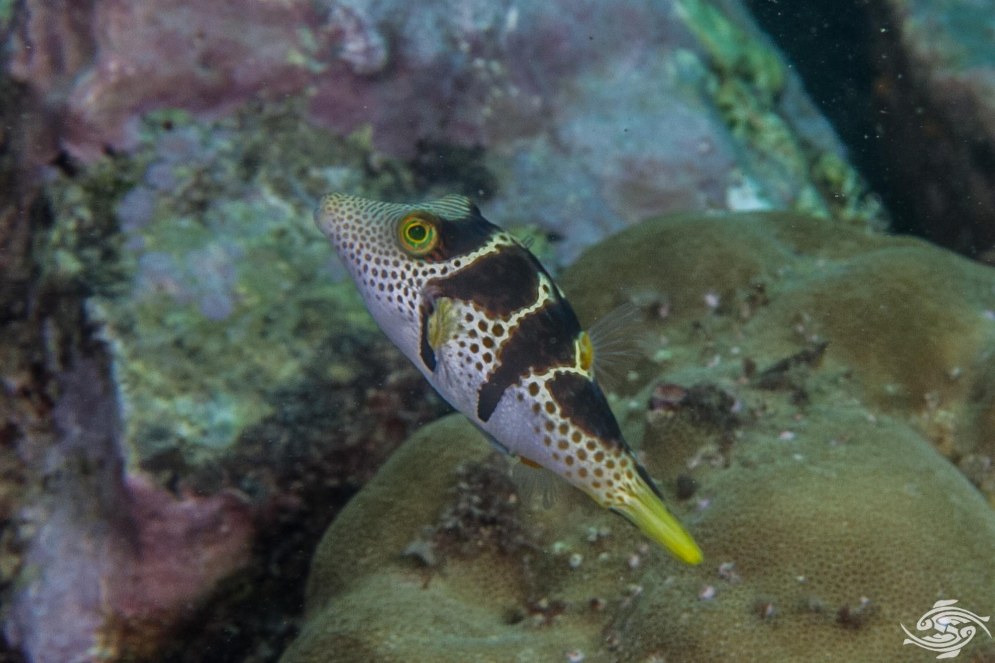 black saddled toby (Canthigaster Valentini) also known as the saddled toby and valentini's sharp nose puffer,