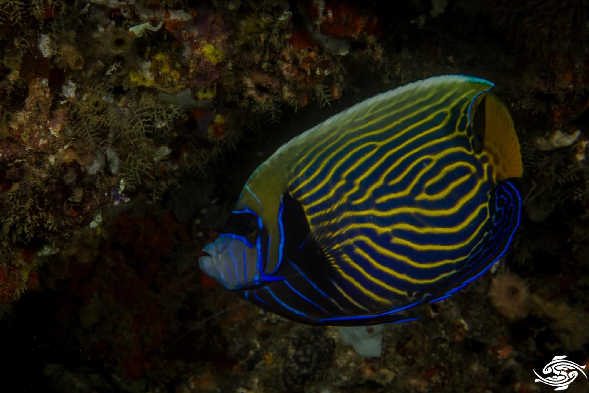 emperor angelfish Pomacanthus imperator intermediate stage