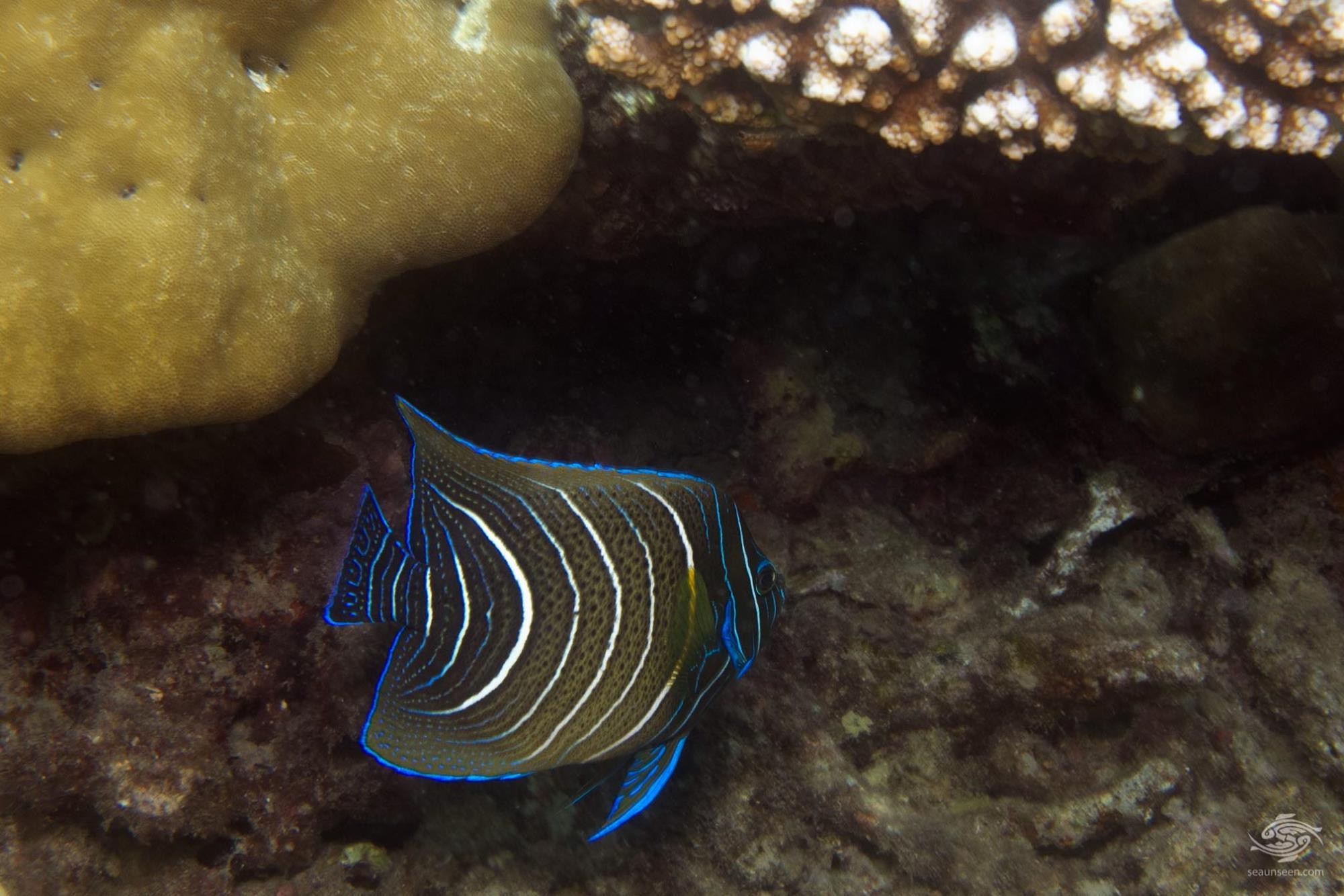 Pomacanthus Semicirculatus 1