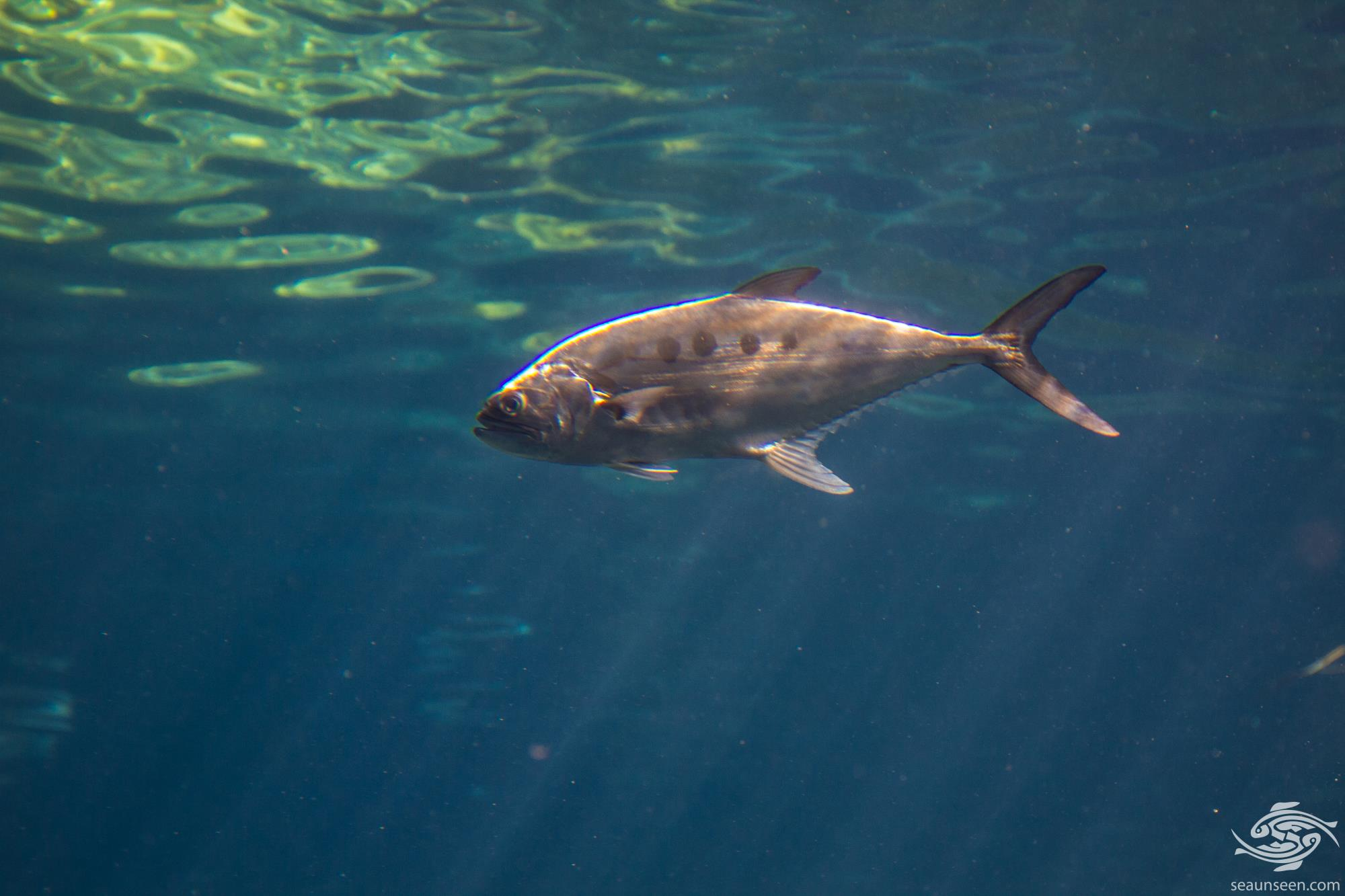 Talang Queenfish (Scomberoides commersonnianus)