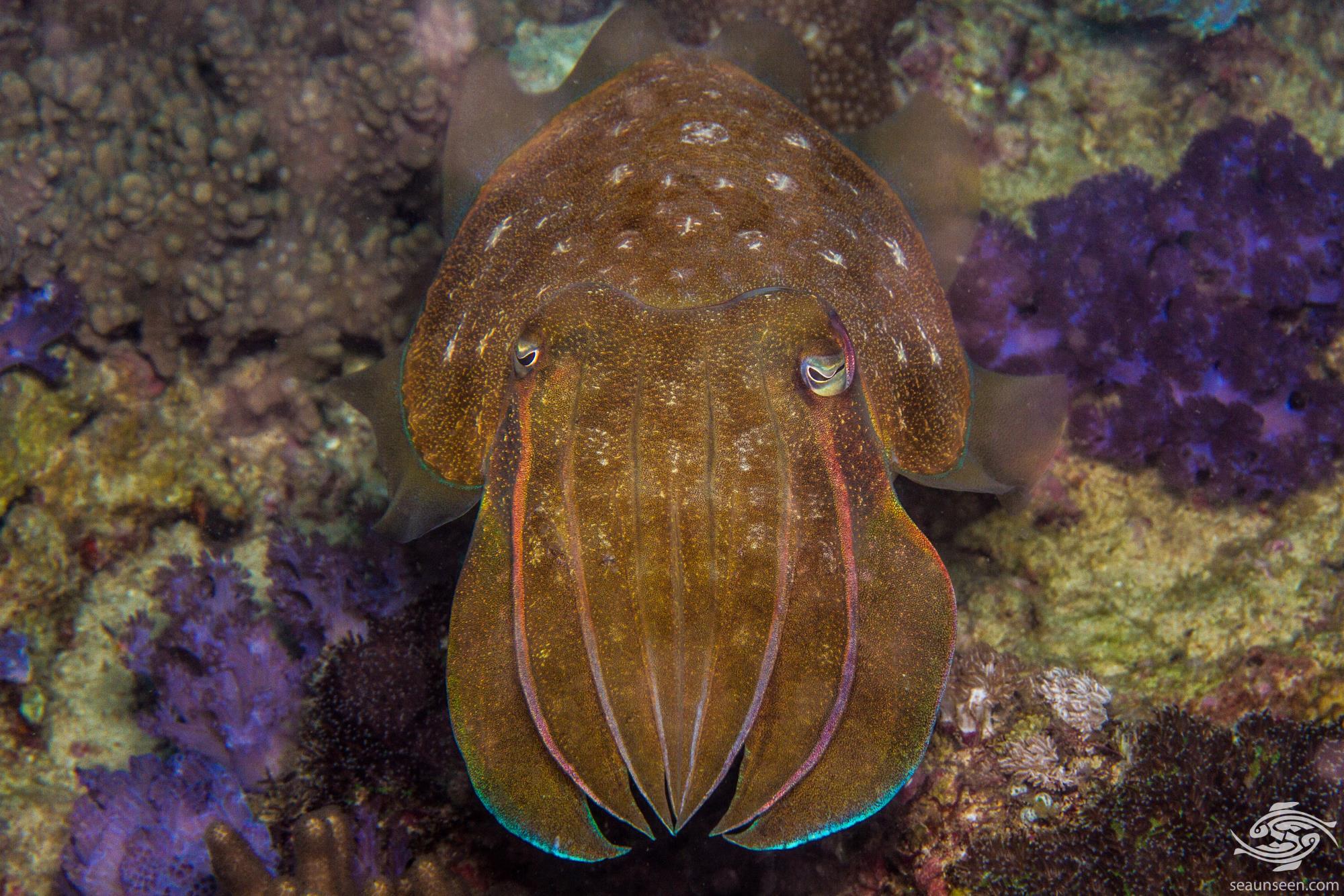 Large Cuttlefish