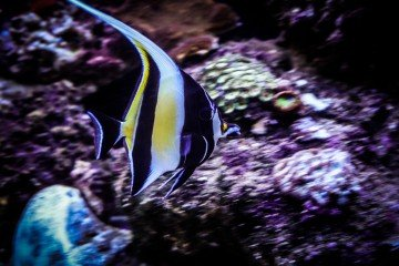 submerged Moorish Idol