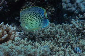 Spotted / Peppered Butterflyfish