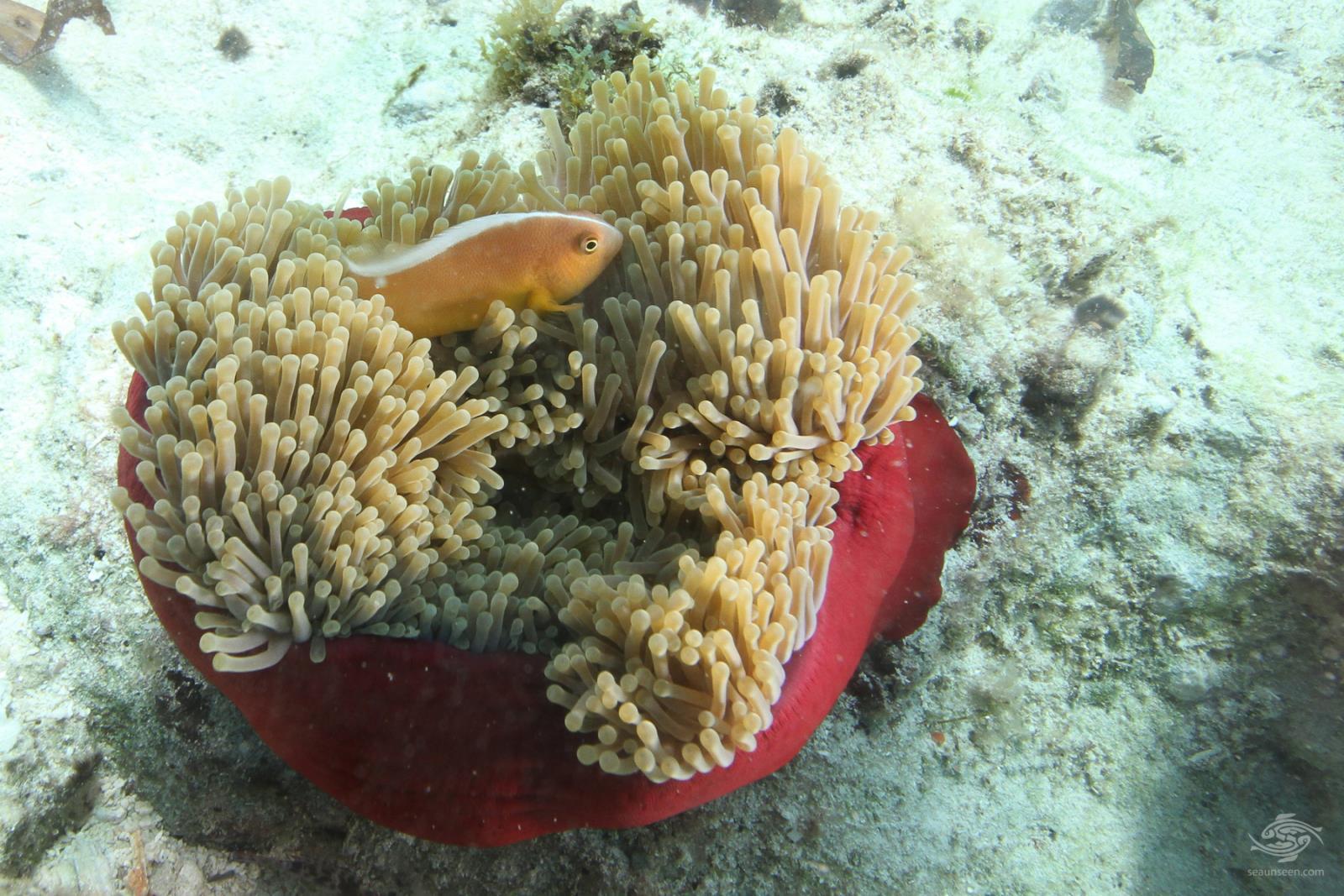 Skunk clownfish or nosestripe anemonefish Amphiprion akallopisos Tanzania 2
