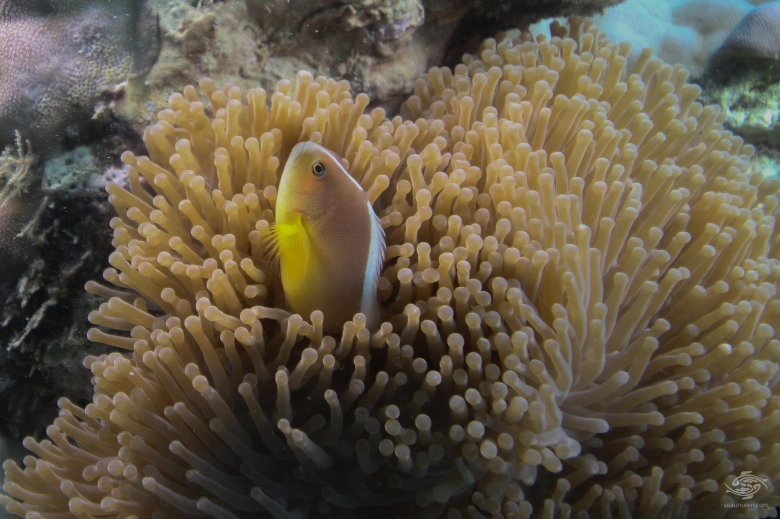 Skunk clownfish or nosestripe anemonefish Amphiprion akallopisos Tanzania 3