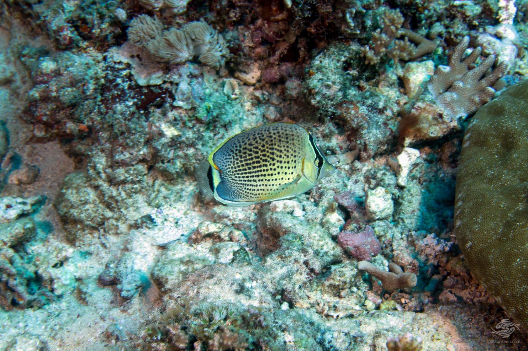 Peppered Butterflyfish Chaetodon guttatissimus