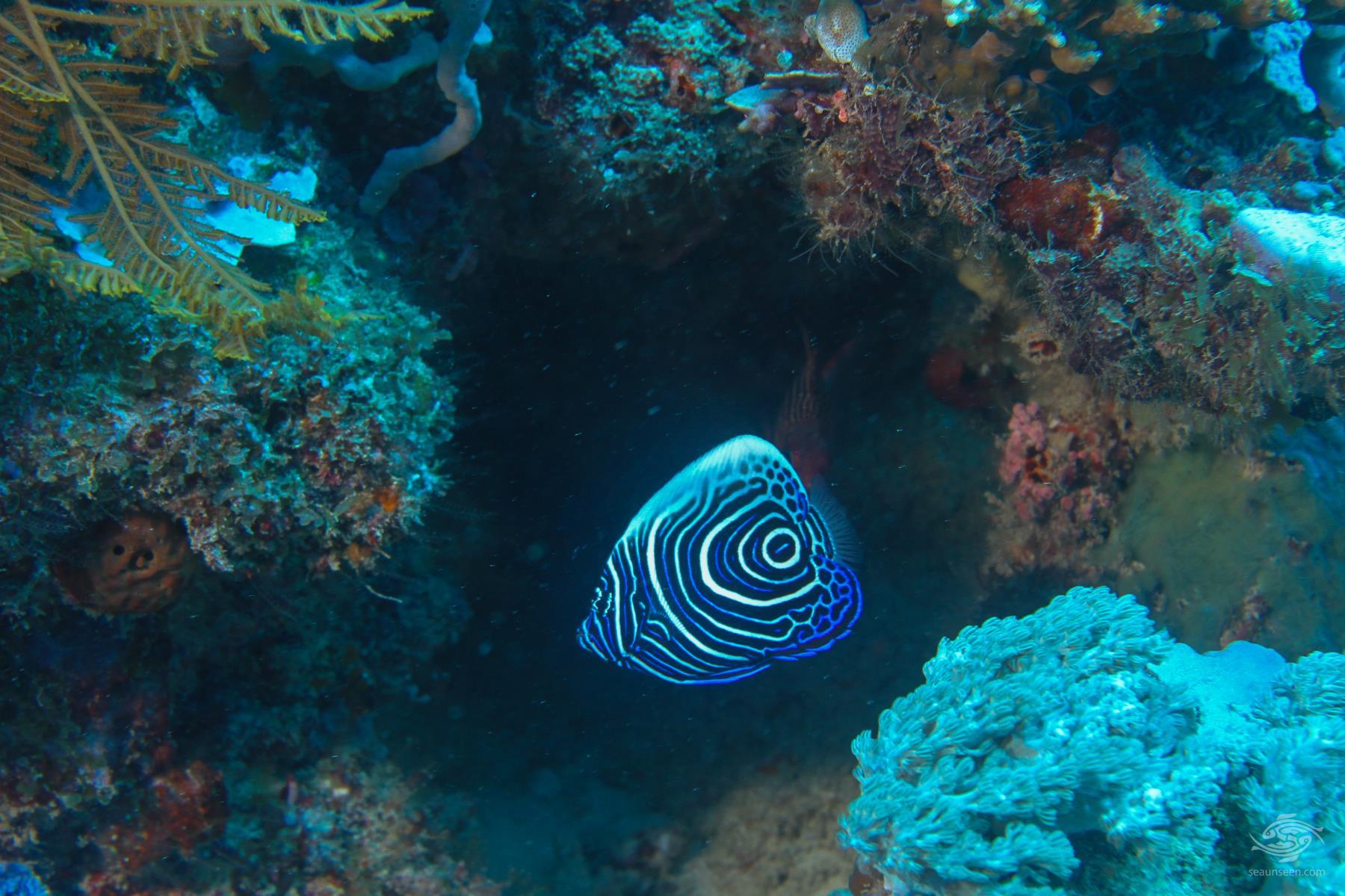 Juvenile emperor angelfish, Pomacanthus imperator