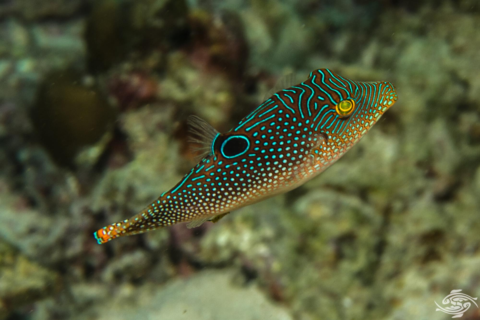 blue spotted pufferfish (Canthigaster Solandri),