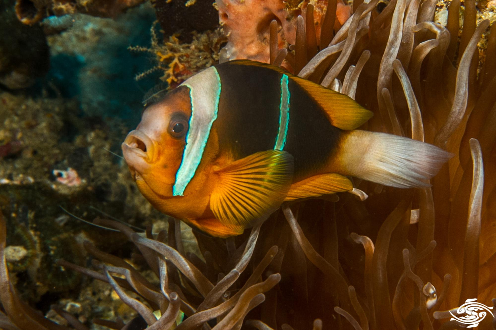 Allard S Clownfish Facts And Photographs Seaunseen