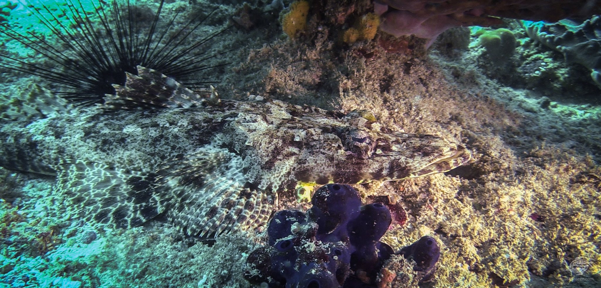 crocodilefish (Papilloculiceps longiceps),