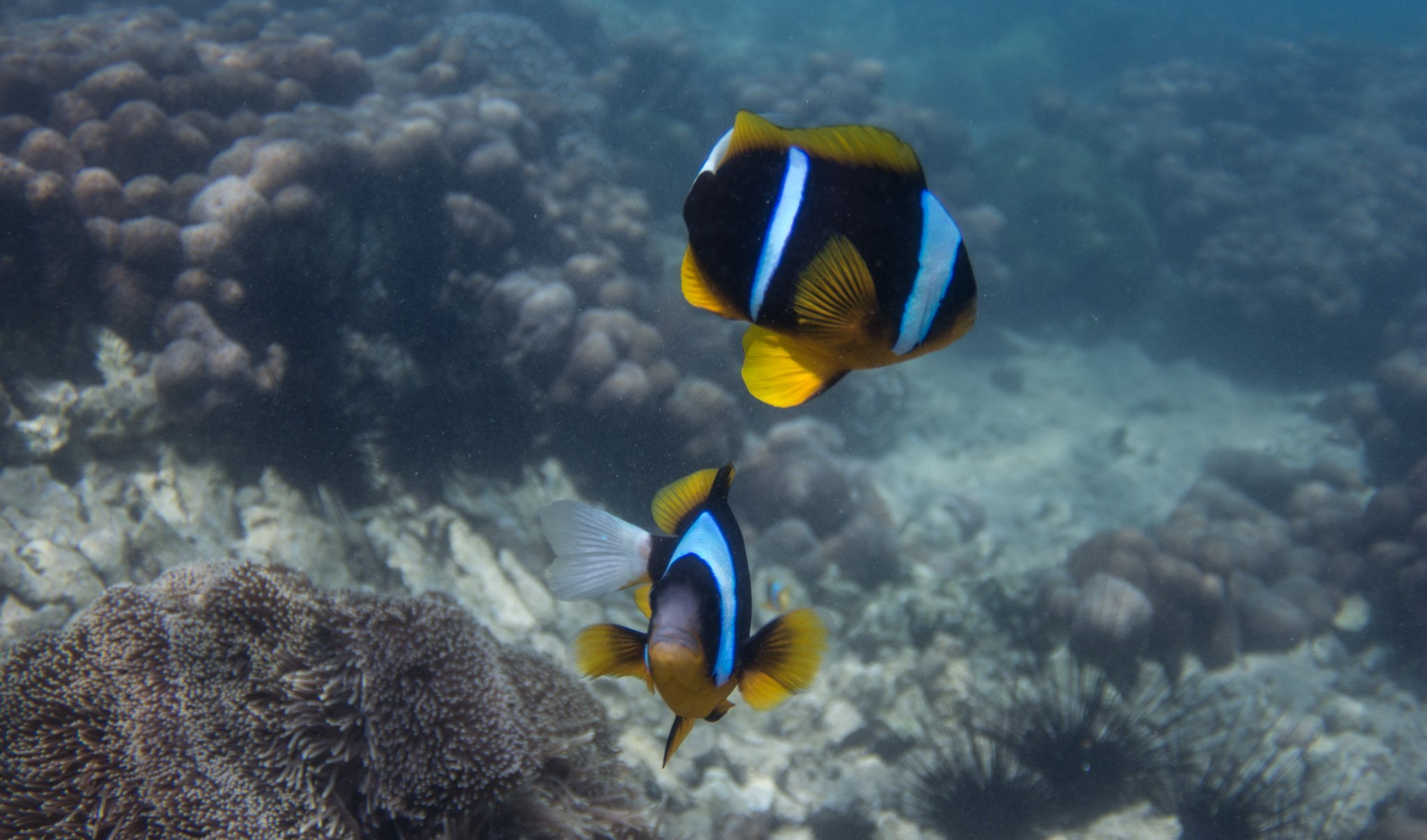 Allard's Clownfish in Paje Zanzibar
