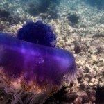 crowned jellyfish (Cephea cephea)