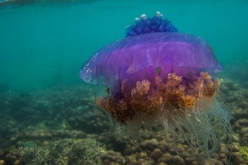 crowned jellyfish (Cephea cephea)
