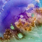 Crowned Jellyfish