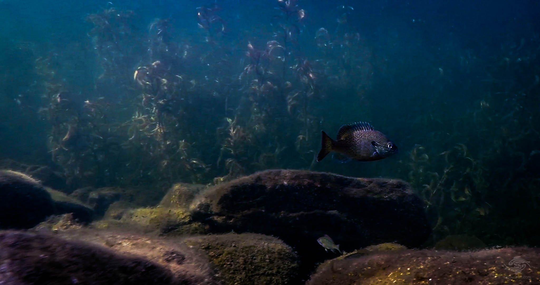 Sunfish Maine