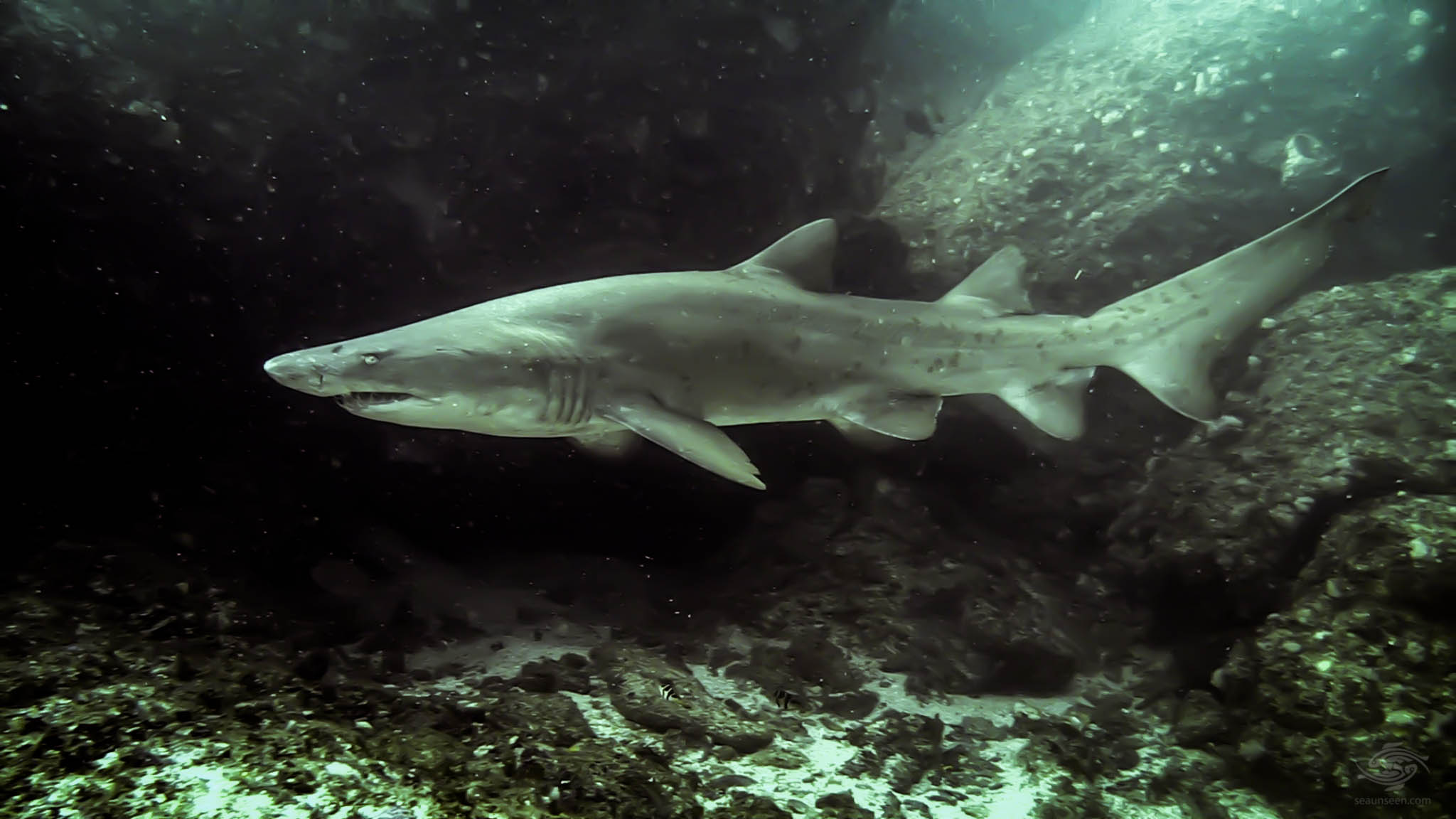 Ragged Tooth Shark