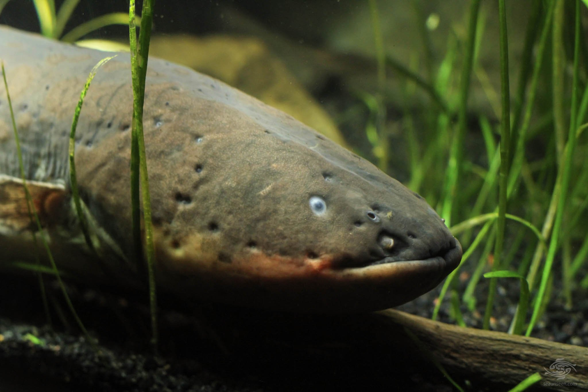 Electric Eel Head Shot - Seaunseen