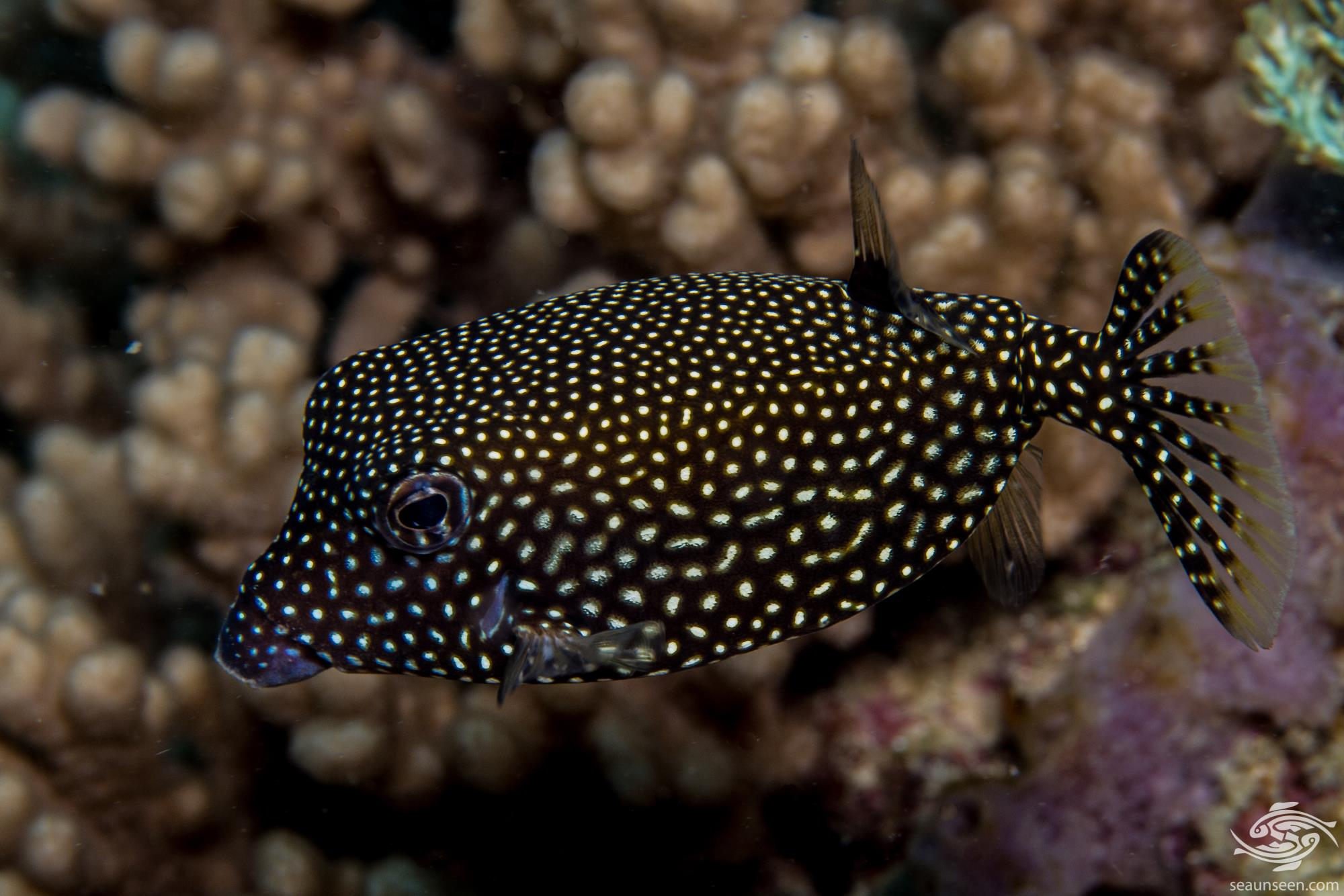 white spotted boxfish (Ostracion meleagris) also known as the spotted boxfish, blue boxfish and black boxfish