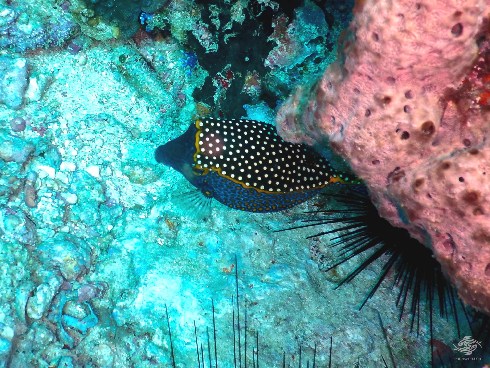 White spotted box fish