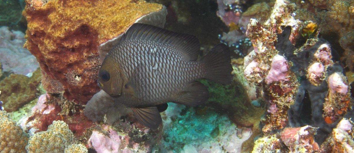 An adult Domino Dascyllus trimaculatus damselfish