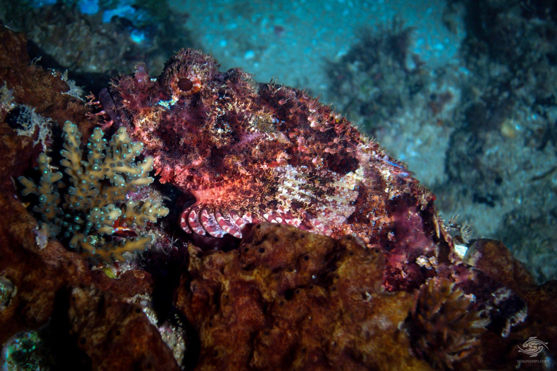 Tassled Scorpionfish 1