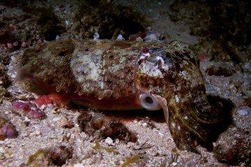 Cuttlefish in Dar es Salaam