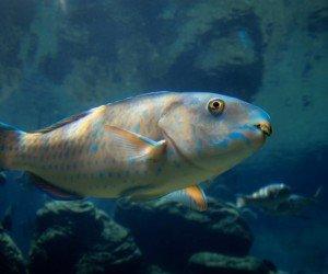 Ember Parrotfish