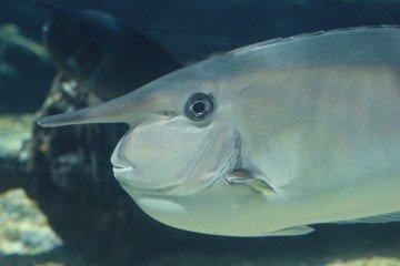 Surgeonfish Tangs