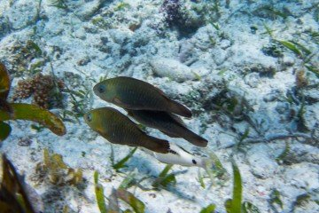 Juvenile Parrotfish