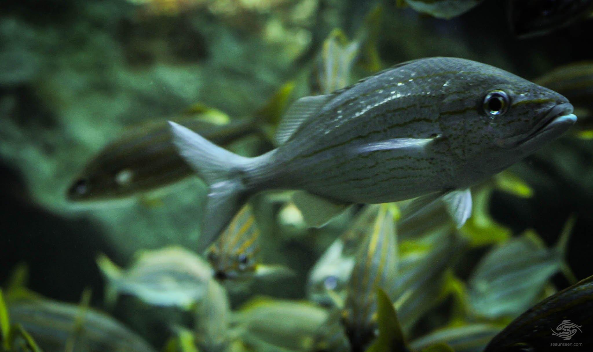 Grunter Fish