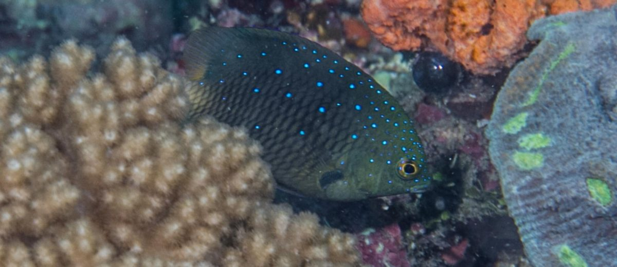 Plectroglyphidodon lacrymatus, the whitespotted devil, also known as the jewel damselfish