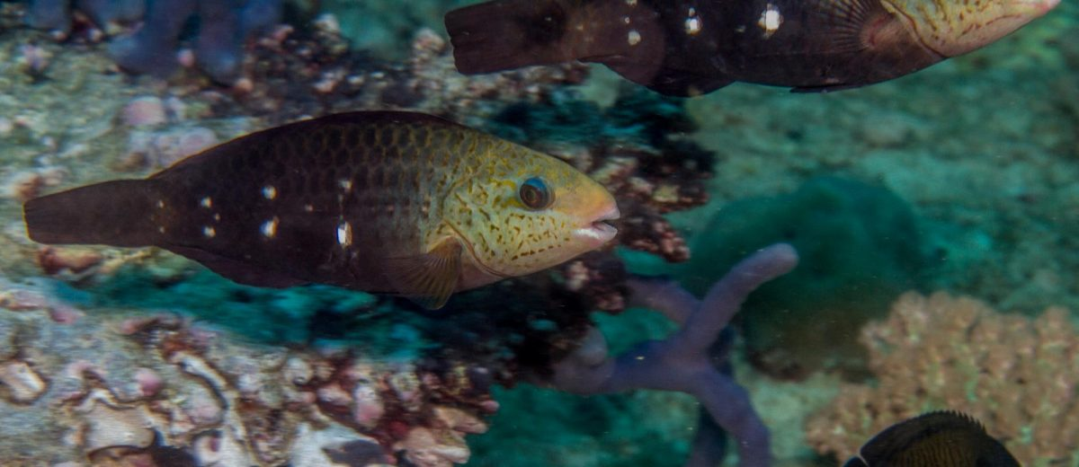 Juvenile Bullet Head Parrotfish