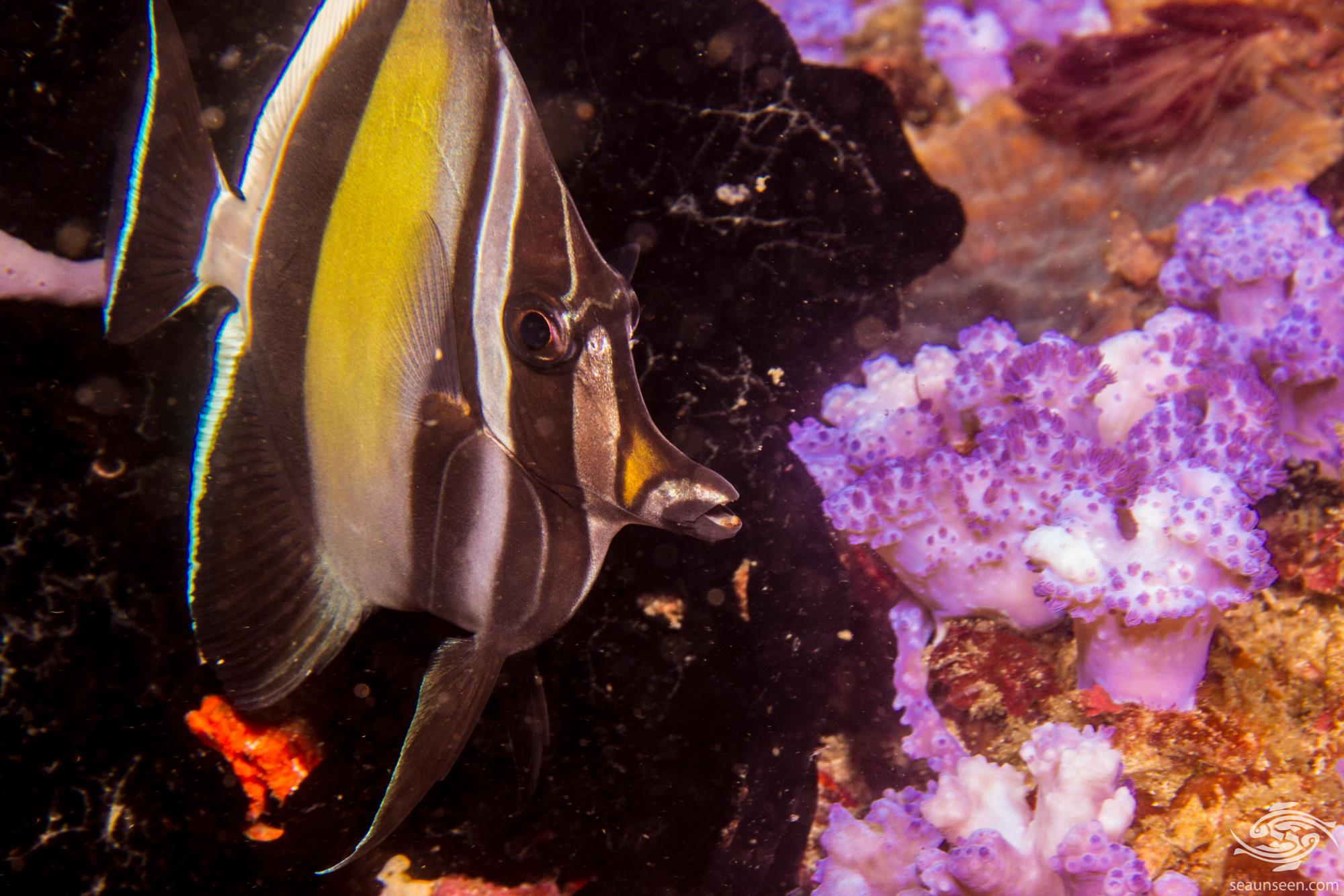 Moorish Idols Facts And Photographs Seaunseen