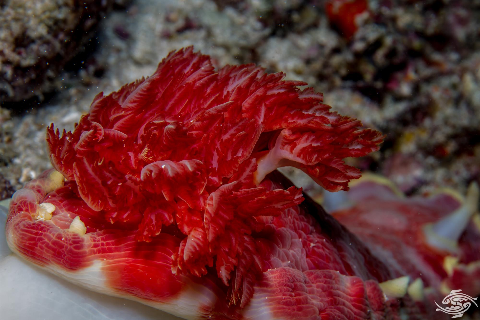 Spanish Dancer Hexabranchus sanguineus