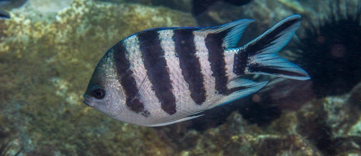 scissortail sergeant or striptailed damselfish (Abudefduf sexfasciatus,