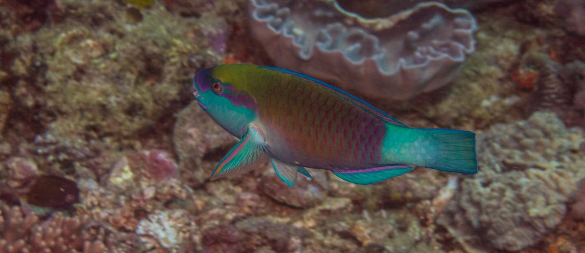 Adult Chlorurus sordidus, known commonly as the daisy parrotfish or bullethead parrotfish