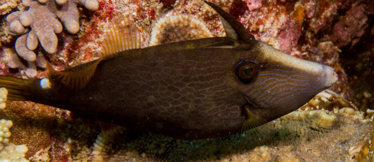 Wirenet Filefish Cantherhines paradalis
