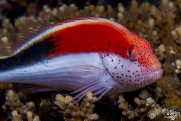 freckled hawkfish (Paracirrhites forsteri), also known as the forster's hawkfish,