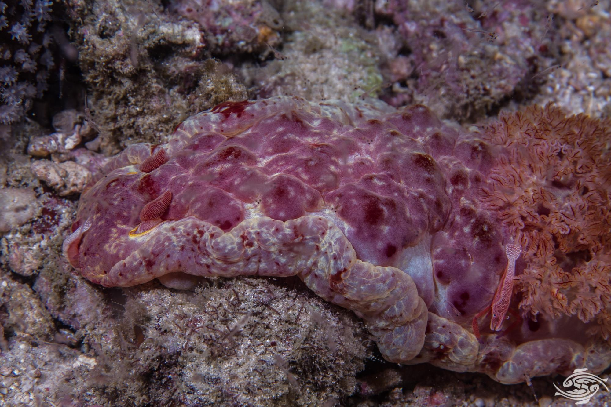 Spanish Dancer Hexabranchus sanguineusis