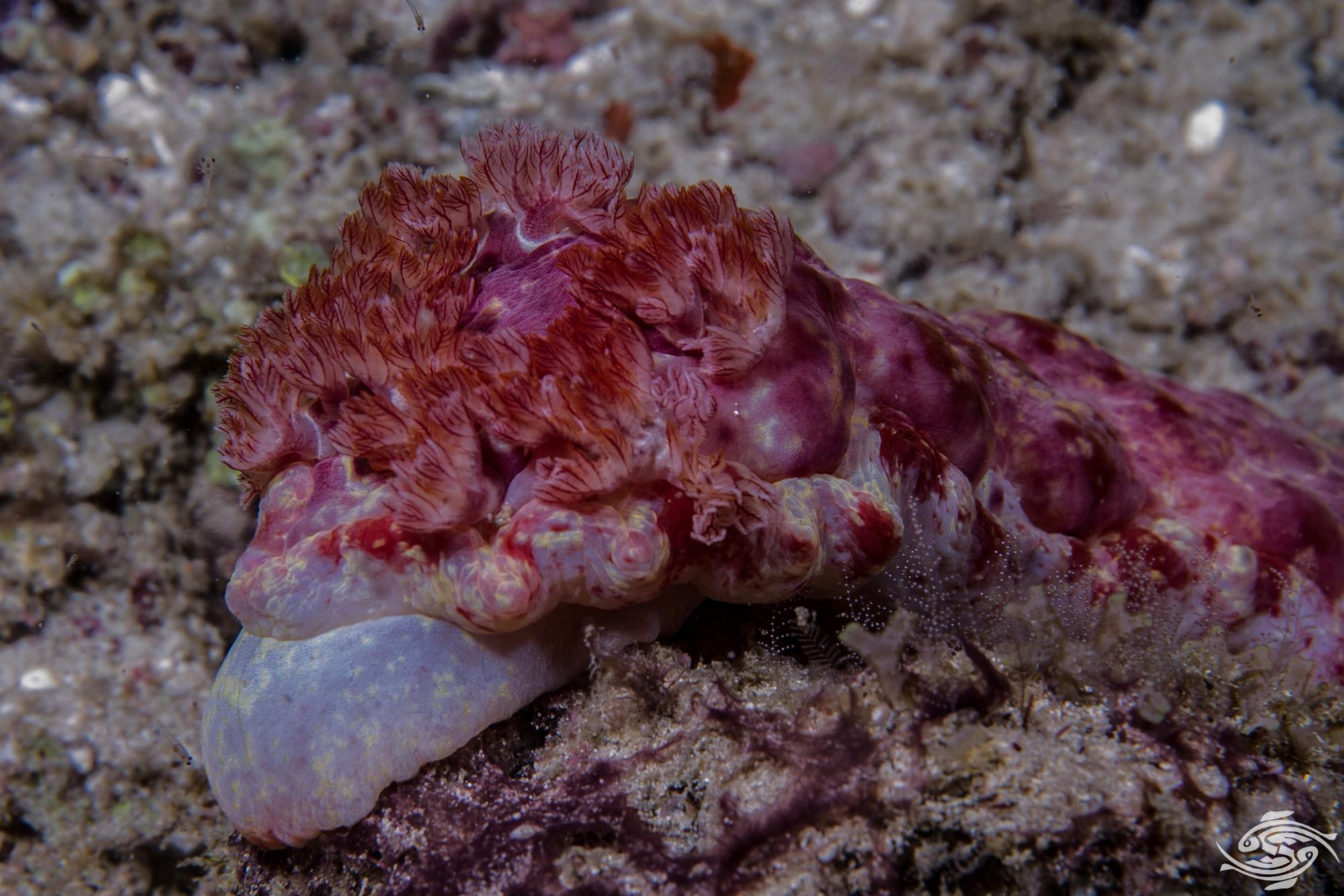 Gills of a Spanish Dancer Hexabranchus sanguineus