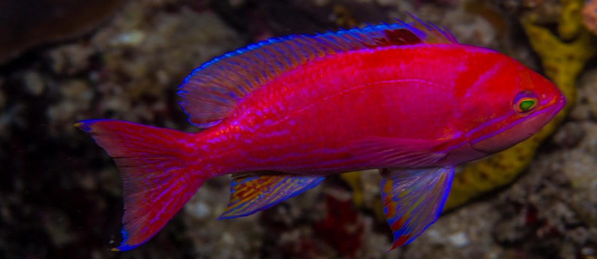 Pseudanthias bimaculatus: The Twin- Or Two-Spot Fancy Bass