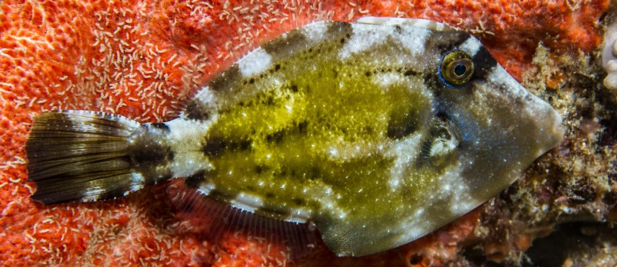 Spectacled filefish Cantherhines fronticinctus
